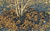 Beerensträucher mulchen.