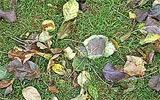 Von Pilz betroffene Blätter unter Obstbäumen entfernen.