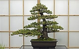 Bonsai pflegen.