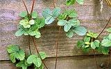 Erdbeeren Ausläufer entfernen oder eintopfen.