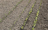 Boden zwischen den Reihen im Gemüsegarten auflockern.