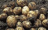 Kartoffeln ernten.