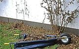 Abgestorbenes Holz von Kletterrosen ausschneiden.