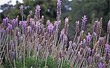 Lavendel zurückschneiden / ernten.