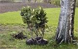 Rhododendren pflanzen.
