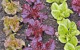Salatpflanzen setzen.