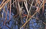 Schilfreste aus dem Teich entfernen.