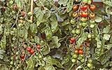 Tomaten regelmäßig düngen.
