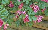Abgestorbene Rosenblüten entfernen.