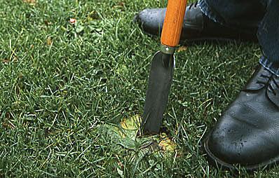 Unkräuter aus dem Rasen entfernen.