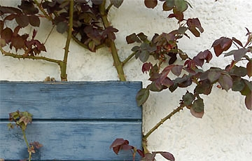 Rosen vorbeugend gegen Mehltau spritzen.