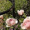 Rosenstützen